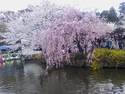 shidarezakura.JPG